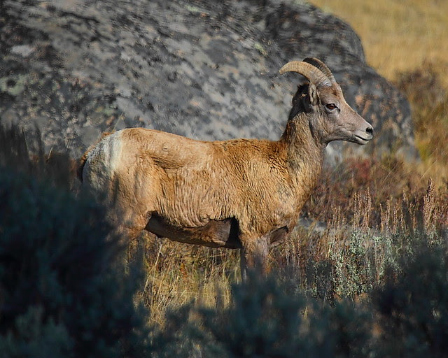 IMG_0351 Bighorn Sheep, Yellowstone National Park