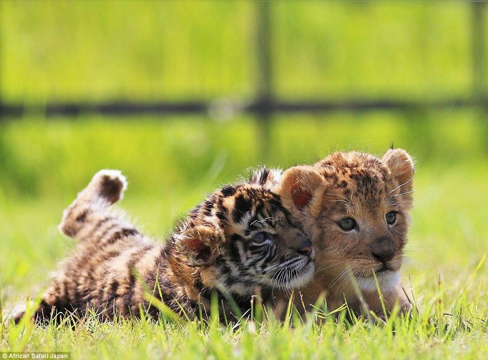 Atualmente vários conjuntos de tigre e filhotes de leão no parque, mas este par ter atingido até uma improvável amizade