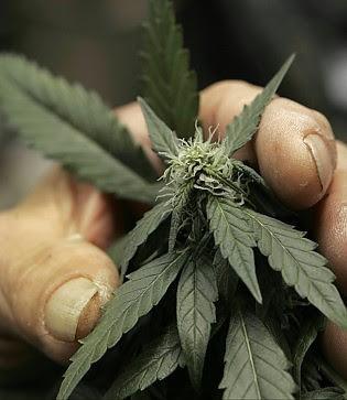 La Marijuana? Meglio se autoprodotta la nuova moda è il contadino fai da te