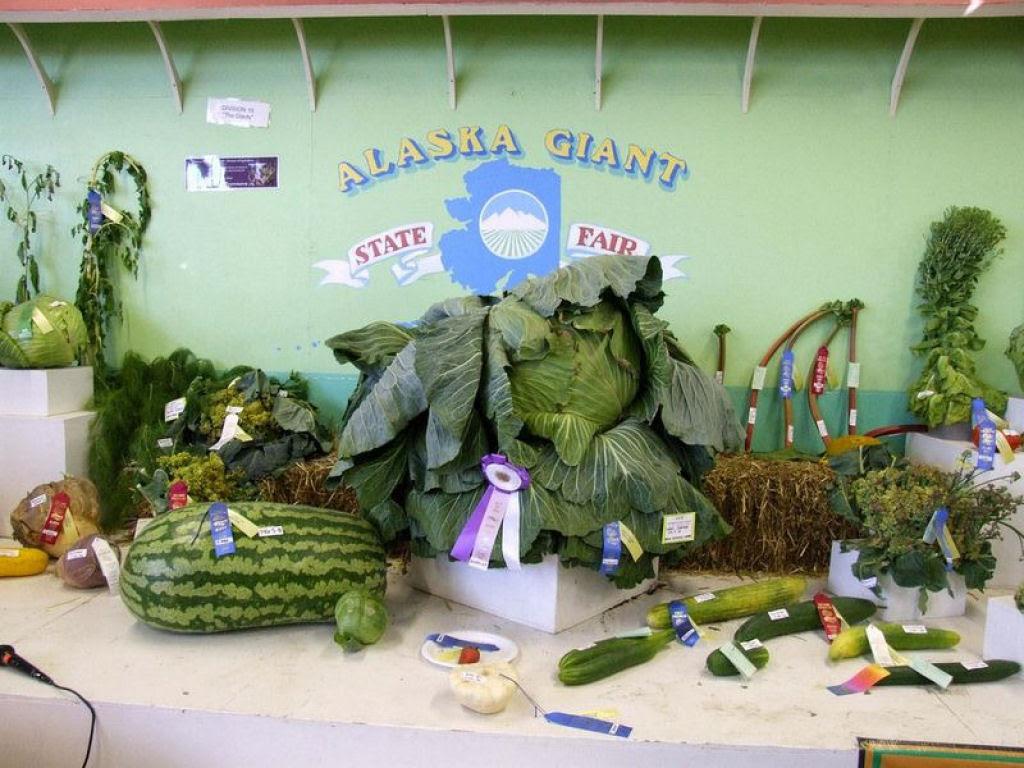 Você sabe por que os vegetais do Alasca são gigantescos? 08