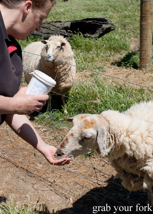 Feeding the sheep at Island Pure Sheep Dairy and Cheese Factory
