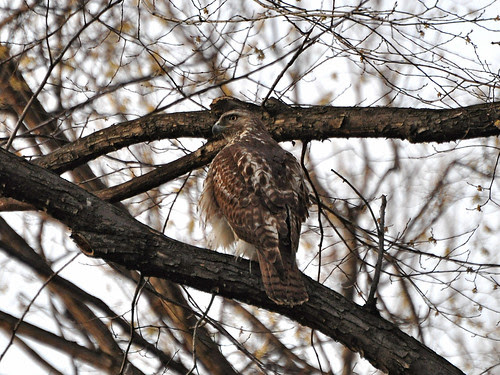 Riverside Juvenile Red-Tail
