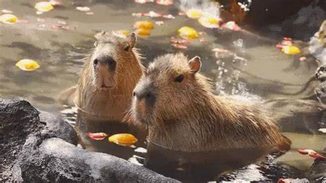 Zoo GIF   Zoo ZooAnimals Capybara   Discover & Share GIFs