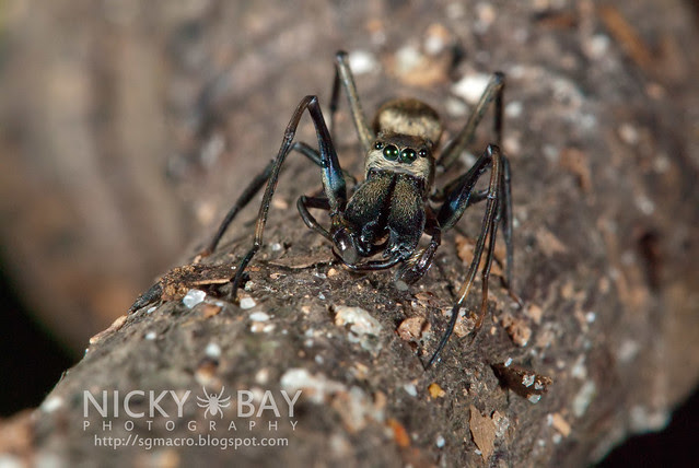 Ant-Mimic Jumping Spider (Salticidae) - DSC_5358