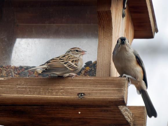 Ed Gaillard: birds &emdash; Chipping Sparrow tells a Titmouse what's what