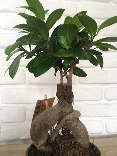 Bonsai Ficus Ginseng Plantadecora