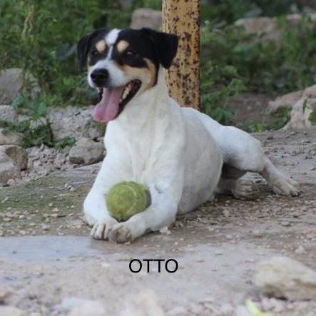 Otto – 1-2 year old male Ratonero Bodeguero (Spanish Jack Russell)
