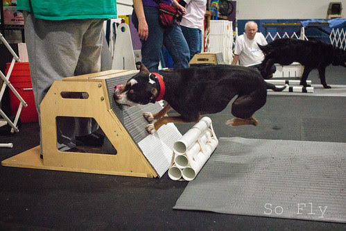 Flyball Practice April 2013-1528