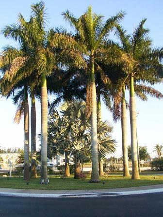 Florida City Fl Palm Trees In Florida City Florida Photo