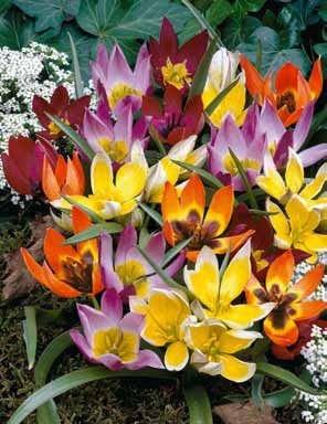 35 Deer Resistant Tulips Bulbs-wildflower Mixture