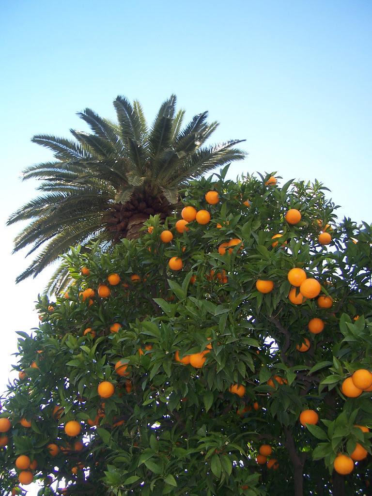 Oranger couvert d'oranges de mon jardin
