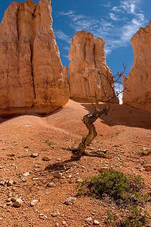 Pinyon Pine tree and Hoodoos Peek-A-Boo Loop T...