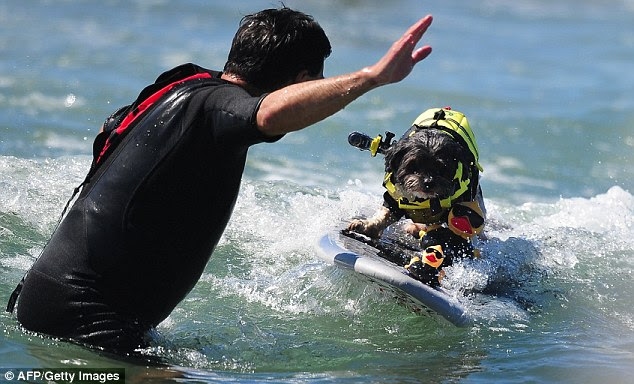 Tiger mom: This overbearing owner coaches his surf dog, who is just trying to do its best
