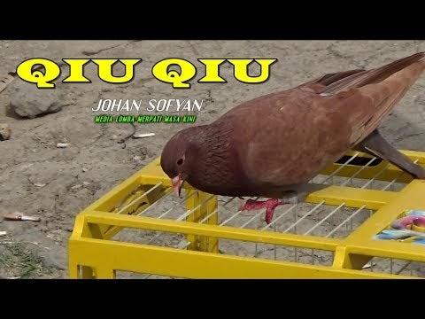 7000 Gambar Burung Merpati Qiu Qiu Hd Gratis Gambar Id