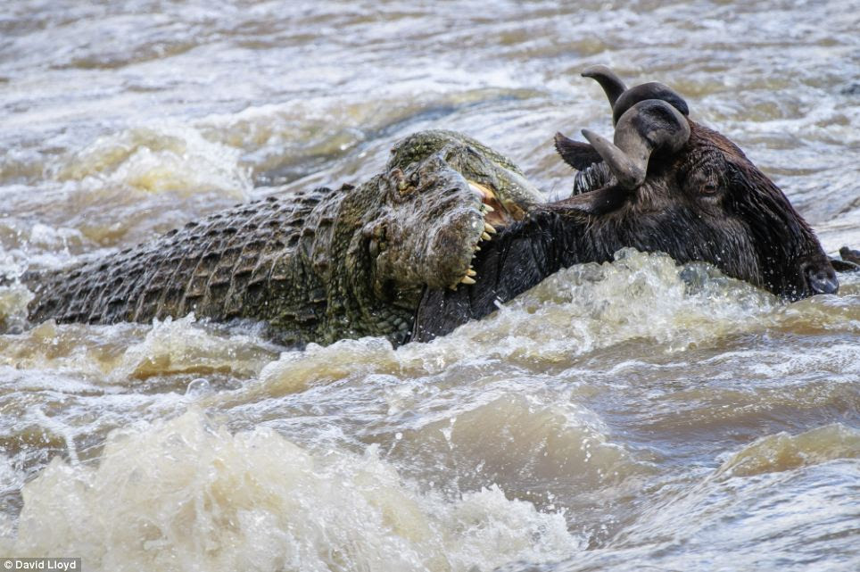 The end is nigh for this water buffalo as an alligator sinks its teeth into its neck as it crosses the river, in another example of Kenya's, at times, unforgiving landscape
