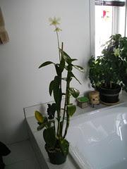 Dendrobium Phalaenopsis Blanc