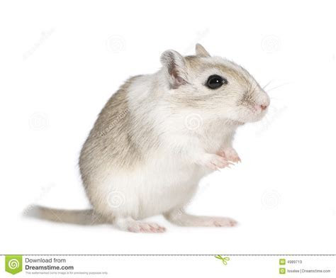 Gerbil stock image. Image of alert, awaiting, fluffy, alertness   4989713
