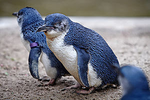 Fairy Penguins in Melbourne Zoo.