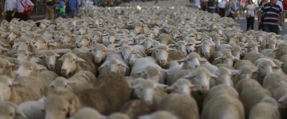 ovejas en madrid