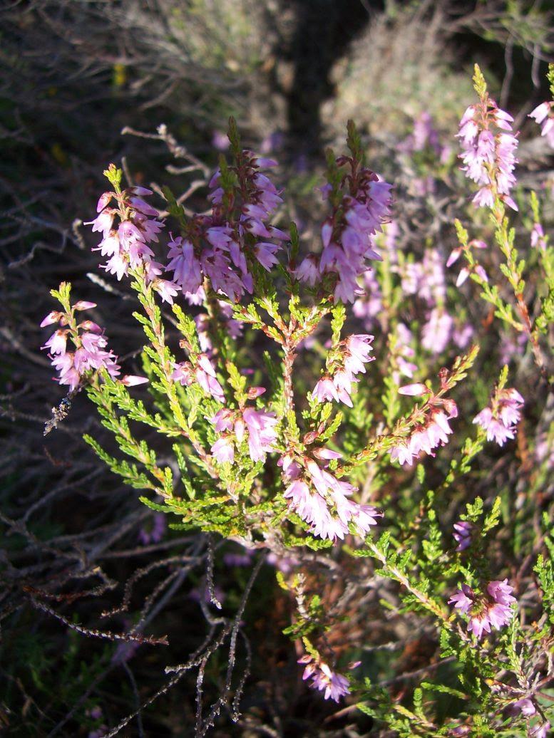 Callune ou bruyère commune - calluna vulgaris - Photo de fleur