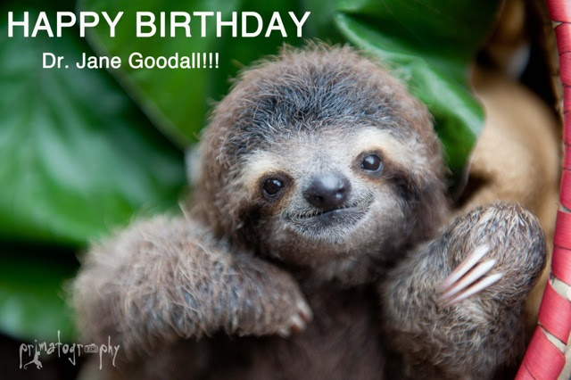 The Sloth Institute Happy Birthday Dr Jane Goodall From Your Sloth