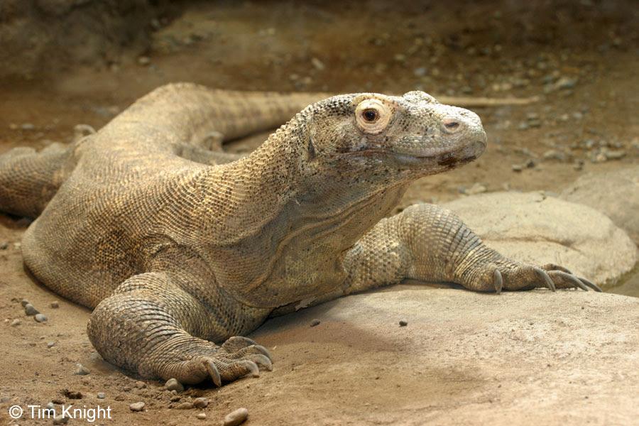 Komodo - Reptil raksasa asli Indonesia yang merupakan hewan endemik yang hanya terdapat di pulau Komodo dan pulau-pulau kecil disekitarnya