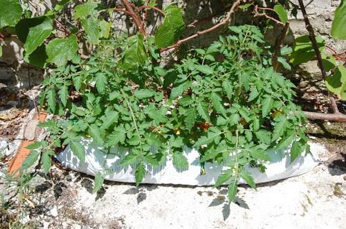 wild currant tomato