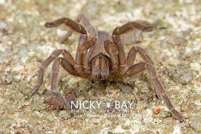 Tarantula (Phlogiellus inermis) - DSC_6960