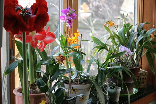 orchid window 090