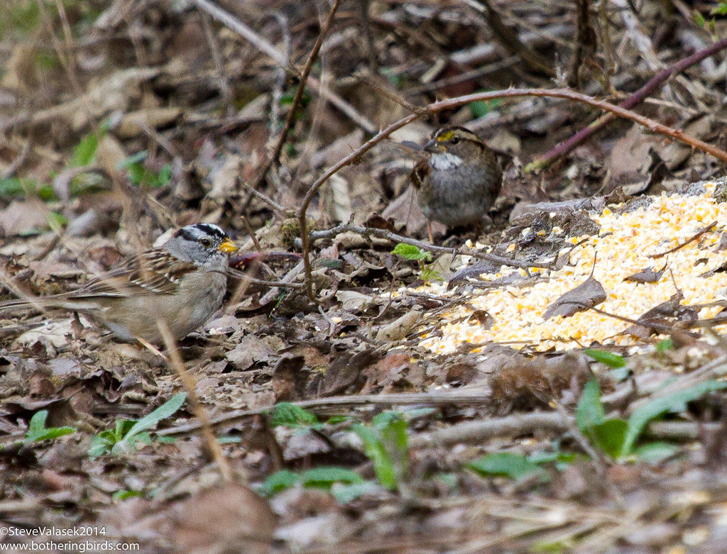 White-Crowned and White-Throated Sparrows
