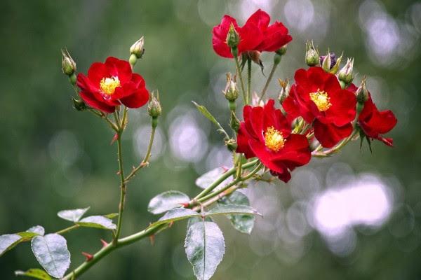 Ramas Con Rosas Rojas Y Pimpollos 41782