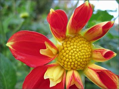 Young Collerette Dahlia