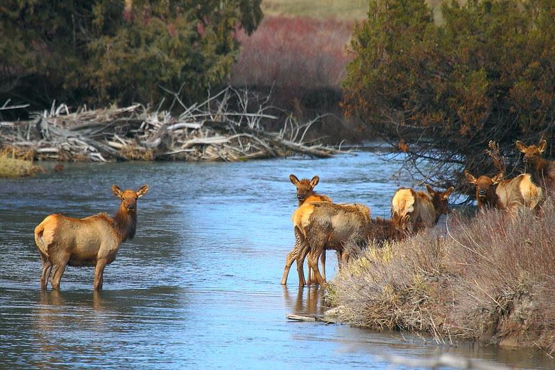 IMG_8311 Elk, National Bison Range