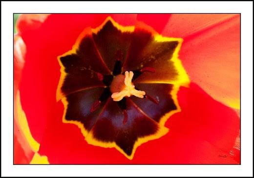 013 Tulip