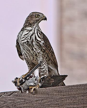 Immature Cooper's Hawk Sitting on a FenceAllen, TX