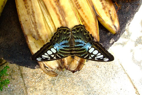 Butterfly eating banana