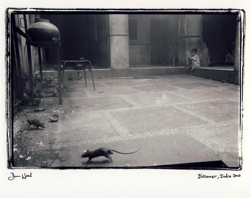Boy and rats, India por Dan_wood
