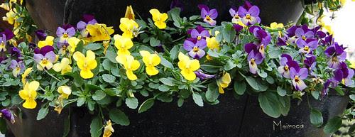 Amor perfeito - Viola del pensiero -  Violaceae (violet)