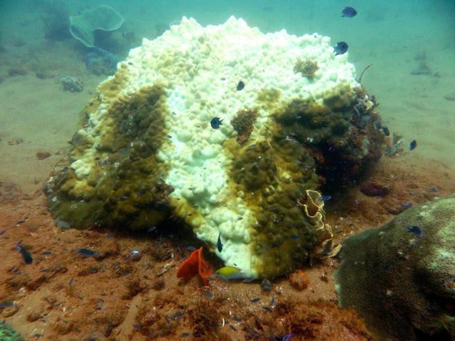 Blanqueamiento de corales en Porites Coral Head