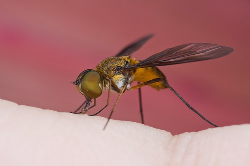 macro photography tip Bee fly on hand........IMG_2195 copy