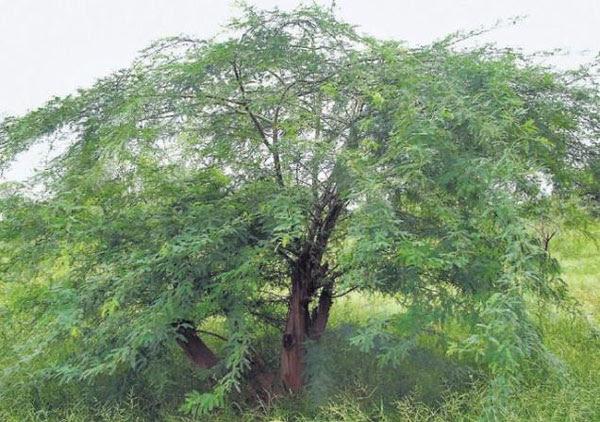 karuvela maram