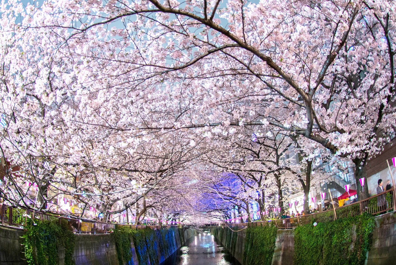 Free Japanese Cherry Blossom Smartphone Wallpapers Barrett