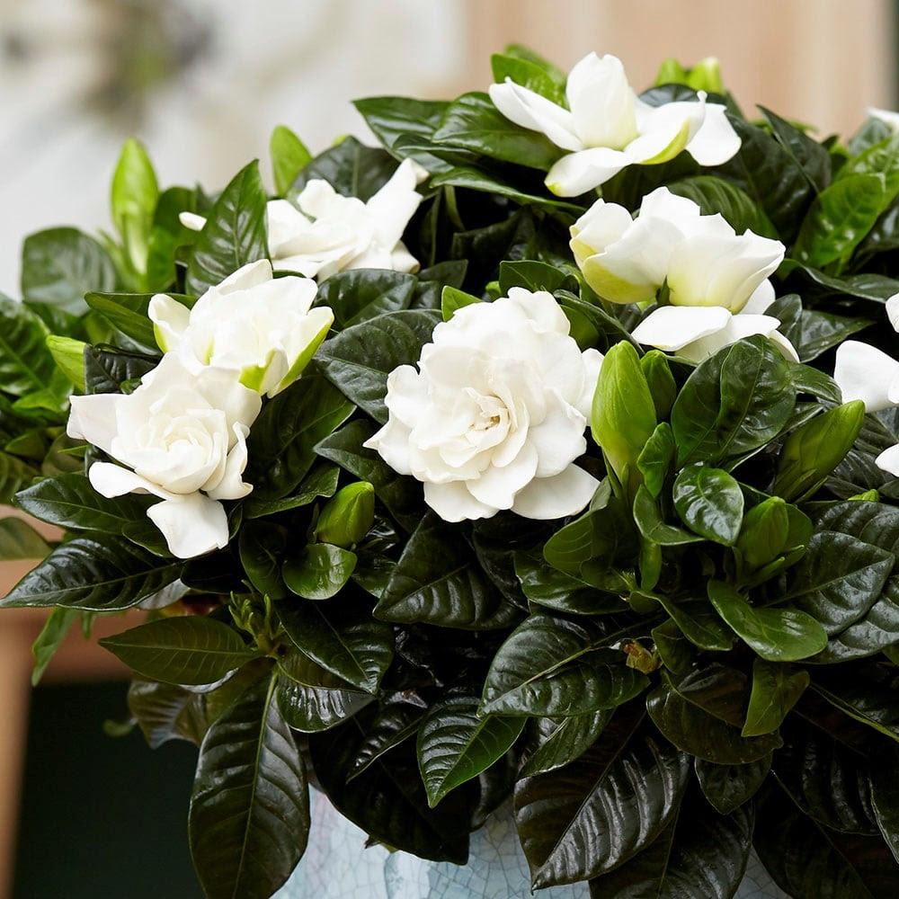 Resultado de imagen para gardenia