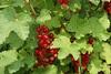 Rote Johannisbeeren (20110605_01469)