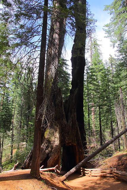 IMG_3564 Tuolumne Grove of Giant Sequoias