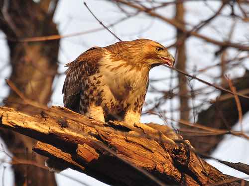 Dyckman St. Juvie Red-Tail