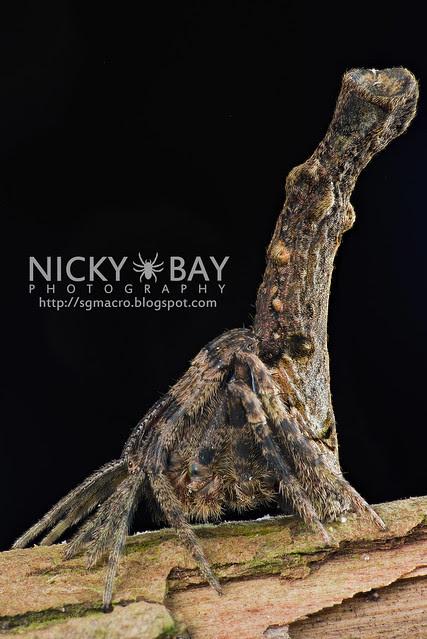 Tree Stump Orb Weaver (Poltys elevatus) - DSC_7007