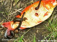 Leeches gorging on a fish Photo: