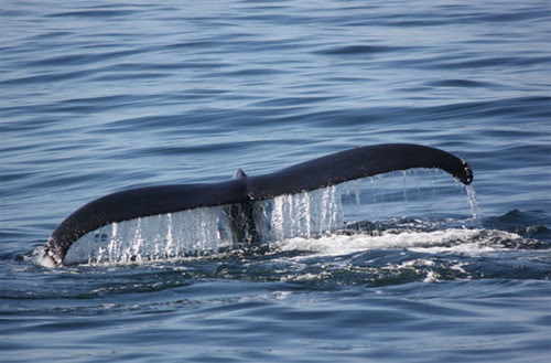 Humpback Whale @ Monterey Bay by Gina's foto's