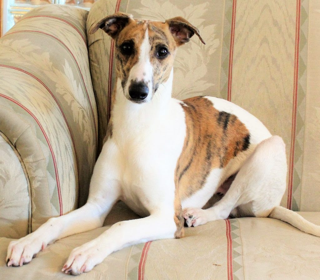 Buy Whippet Puppies Dogs For Sale In Arkansas